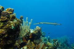 Atlantic Trumpetfish Aulostomus maculatus swimming near coral reef Royalty Free Stock Photo