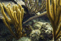 Atlantic trumpetfish Stock Photo