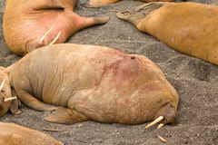 Atlantic walrus equipped with satellite transmitter Stock Photography