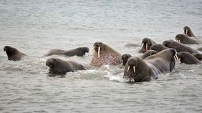 Walrus family in the sea. Atlantic walrus haul-out in the Barents Sea in Arctic Royalty Free Stock Images