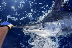 Atlantic white marlin big game sport fishing. Over blue ocean saltwater Stock Image