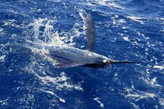 Atlantic white marlin big game sport fishing. Over blue ocean saltwater Stock Photo