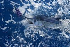 Atlantic white marlin big game sportfishing. Over blue ocean saltwater Royalty Free Stock Image