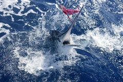 Atlantic white marlin big game sportfishing. Over blue ocean saltwater Royalty Free Stock Photography