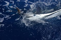 Atlantic white marlin big game sportfishing. Over blue ocean saltwater Stock Photo