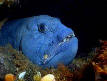Atlantic Wolffish Stock Image