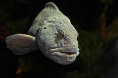 Atlantic wolffish (Anarhichas lupus) Stock Images