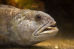 Atlantic Wolffish fish Stock Photos