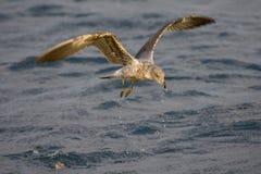 Atlantic Yellow-legged Gull, Atlantische Geelpootmeeuw, Larus mi