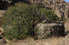 Atlantica Pistacia дерева Relict в крымских горах Стоковые Изображения RF