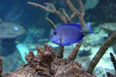 Atlantisch blauw zweempje surgeonfish stock foto's