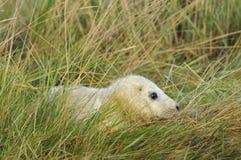 Atlantisch Grey Seal Pup Stock Foto
