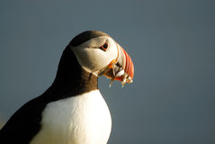 Atlantische arctica van papegaaiduikerfratercula in Raudinupur, IJsland stock foto's