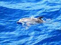 Atlantische Bevlekte Dolfijn Royalty-vrije Stock Afbeeldingen