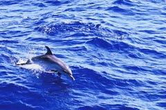 Atlantische Bevlekte Dolfijn Stock Foto's