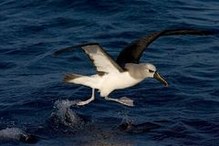 Atlantische Geelsnavelalbatros, Atlantic Yellow-nosed Albatross,Thalassarche chlororhynchos. Atlantic Yellow-nosed Albatross flying from the water; startende stock image