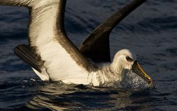 Atlantische Geelsnavelalbatros, Atlantic Yellow-nosed Albatross. Atlantische Geelsnavelalbatros foeragerend, Atlantic Yellow-nosed Albatross foraging stock image