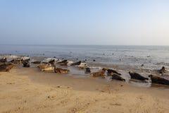 Atlantische grijze verbinding op het strand stock fotografie
