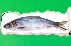 Atlantische haringen die op een gescheurde strook van document worden geïsoleerd stock afbeelding