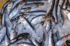 Atlantische Hering-Fische im Eis stockfotos