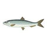Atlantische Heringe lupea harengus Fische Stockfotos
