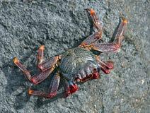 Atlantische krab op de rots Stock Afbeeldingen