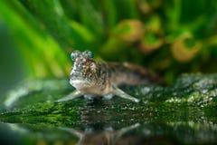 Atlantische mudskipper, Periophthalmus-barbarus, vissen in de groene waterhabitat Dier met grote ogen royalty-vrije stock afbeelding