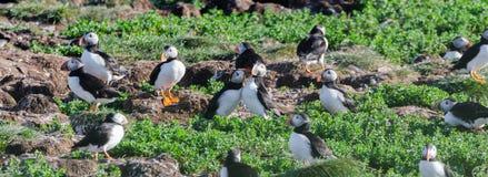 Atlantische Papageientaucher Fratercula arctica auf Vogelinsel in Elliston, Neufundland lizenzfreies stockfoto