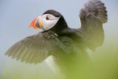 Atlantische papegaaiduiker stock fotografie