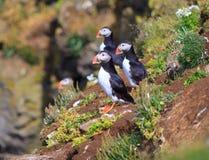 Atlantische Papegaaiduiker (Fratercula-arctica) op klippenbovenkant Stock Foto