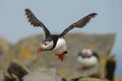 Atlantische Papegaaiduiker (Fratercula-arctica) tijdens de vlucht Royalty-vrije Stock Fotografie