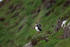 Atlantische papegaaiduiker, fraterculaarctica, de Faeröer Stock Afbeelding