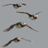 Atlantische Papegaaiduiker of het Gemeenschappelijke vliegen van de Papegaaiduiker Royalty-vrije Stock Foto