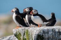 Atlantische Papegaaiduiker in Maine stock afbeelding