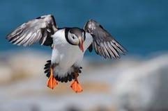 Atlantische Papegaaiduiker in Maine stock afbeeldingen