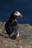 Atlantische papegaaiduiker met vissen in rekening, IJsland Royalty-vrije Stock Afbeeldingen