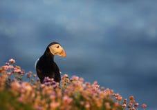 Atlantische papegaaiduiker op het gebied van zuinigheid bij zonsopgang stock foto's