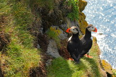 Atlantische Papegaaiduikers Stock Foto
