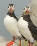 Atlantische Papegaaiduikers Stock Fotografie
