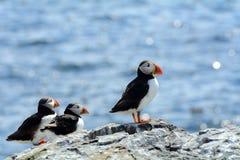 Atlantische papegaaiduikers, Farne-Eilandennatuurreservaat, Engeland Royalty-vrije Stock Fotografie