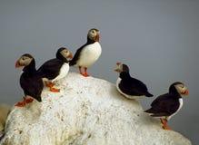 Atlantische Papegaaiduikers - het Eiland van de Verbinding Machias Royalty-vrije Stock Foto's