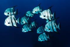 Atlantische Spatenfischschwimmen Stockfoto