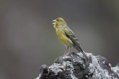 Atlantischer Kanarienvogel, Serinus Canaria stockbild