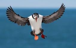 Atlantischer Papageientaucher Lizenzfreie Stockfotos