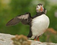 Atlantischer Papageientaucher Lizenzfreies Stockbild