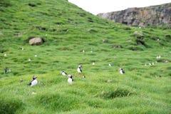 Atlantischer Papageientaucher, Fratercula arctica stockfoto