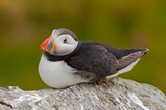 Atlantischer Papageientaucher, Fratercula artica, artic Vogel, der auf dem Felsen, Naturlebensraum, Schweden sitzt Lizenzfreies Stockbild