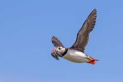 Atlantischer Papageientaucher im Flug Stockbild