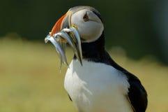 Atlantischer Papageientaucher mit Sand-Aalen Lizenzfreie Stockfotos