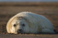 Atlantisches graues Robbenbaby Lizenzfreies Stockbild
